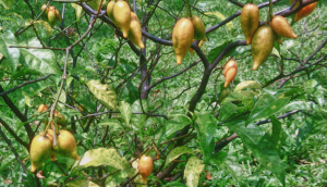 Ibogaine Plant addiction treatment
