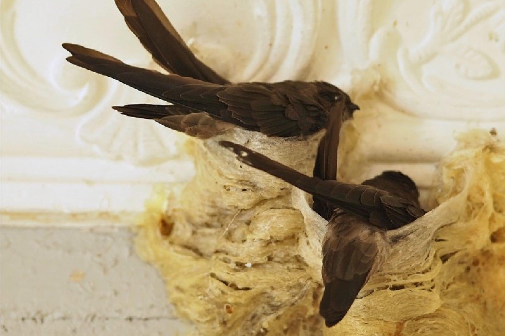 Edible Bird Nest, Caviar of The East