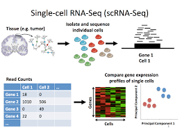 How scRNA-seq analysis has made analyzing sequencing data an extremely easy task